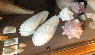 Angel wings shells, of course called like this for its shape!