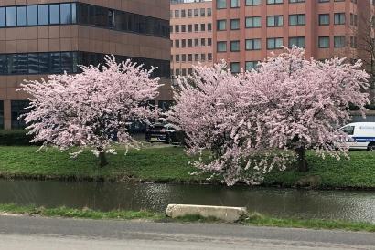Cherry blossoms 🌸 Sakura tree